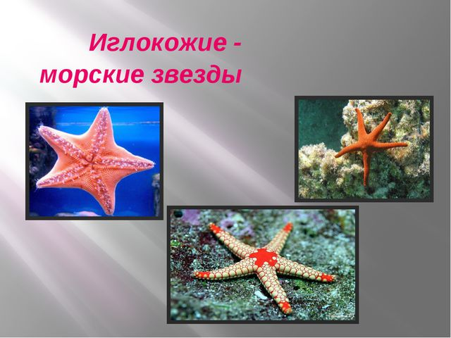 Иглокожие - морские звезды