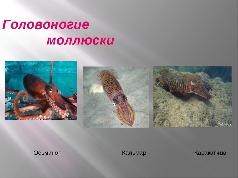 Головоногие моллюски Осьминог Кальмар Каракатица