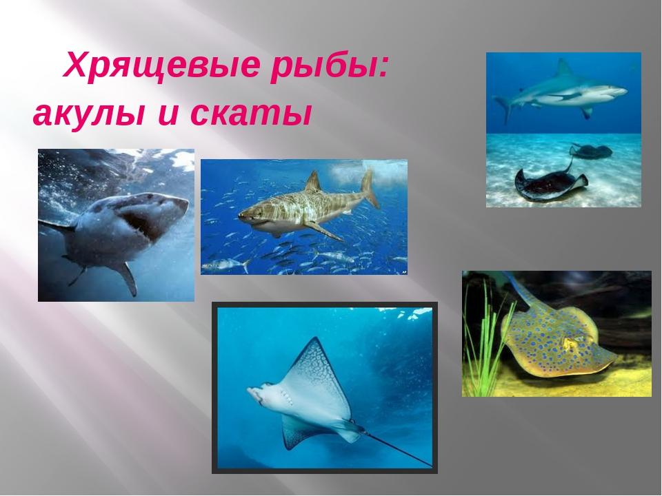 Хрящевые рыбы: акулы и скаты