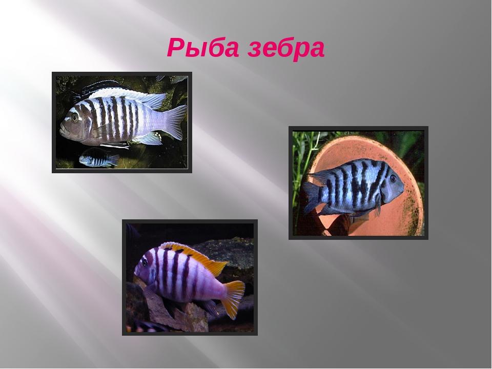 Рыба зебра