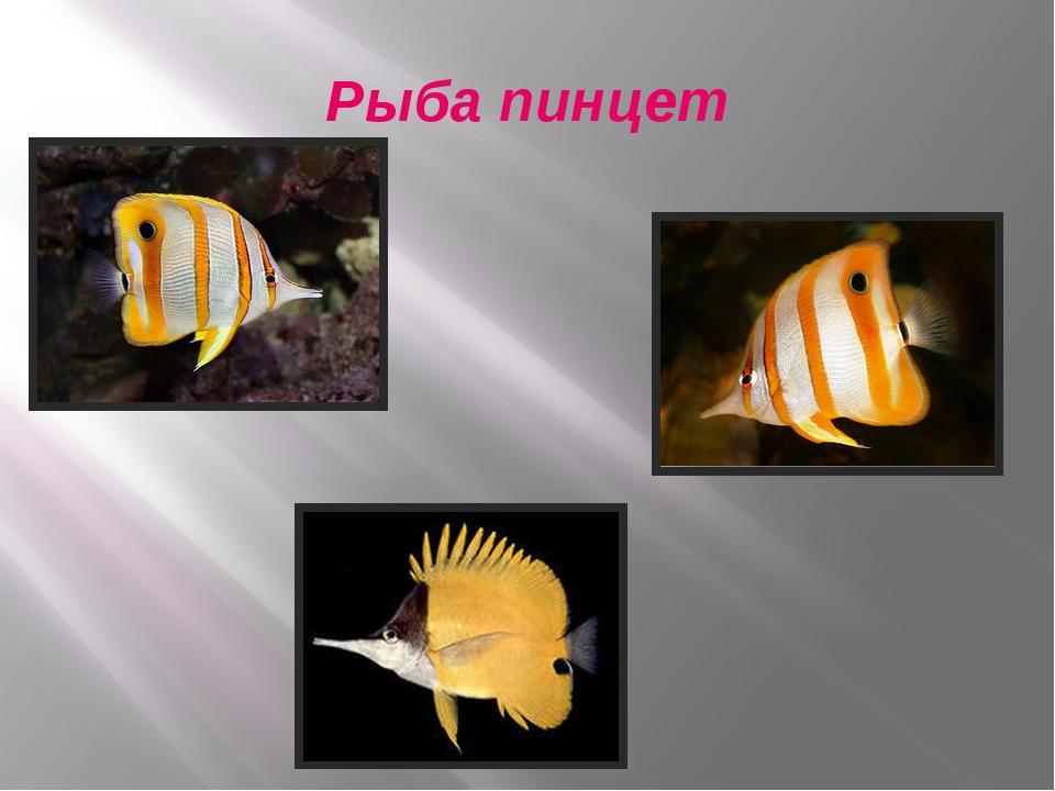 Рыба пинцет