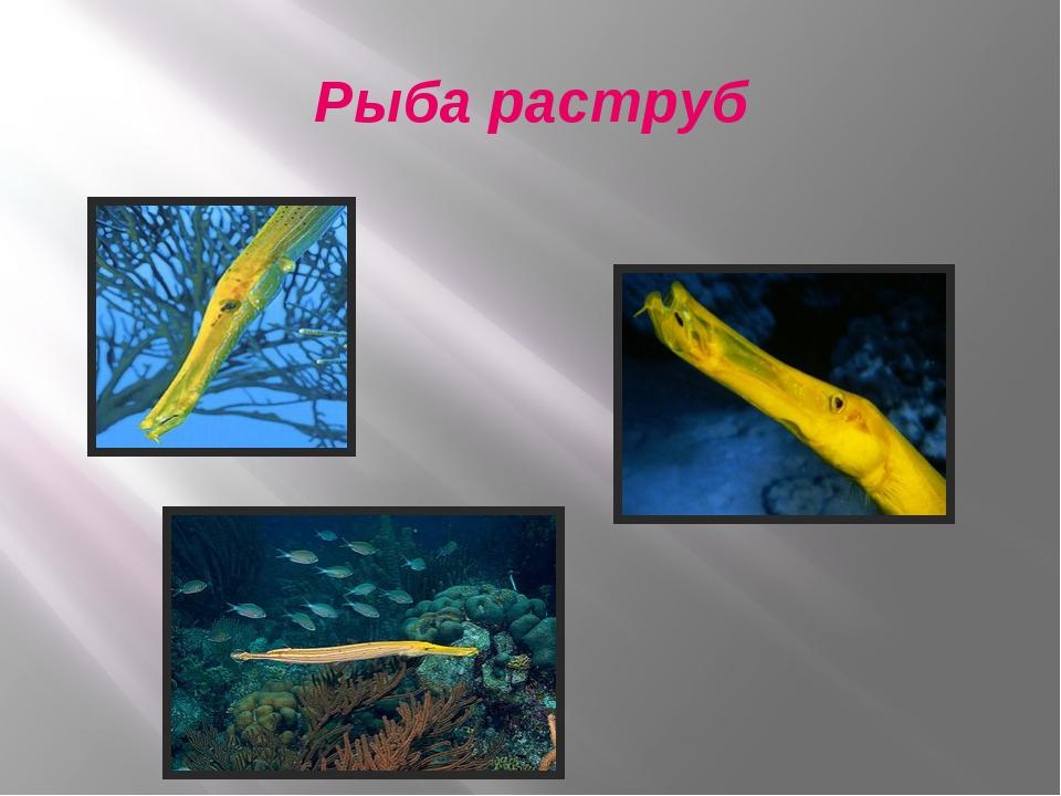 Рыба раструб