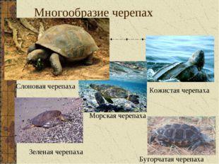 Многообразие черепах Кожистая черепаха Морская черепаха Бугорчатая черепаха С
