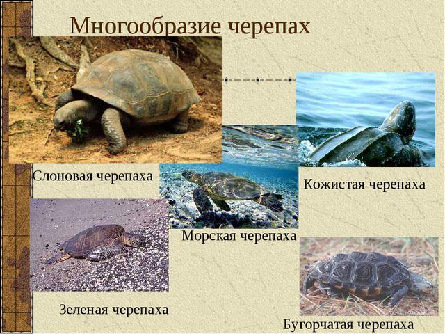 Многообразие черепах Кожистая черепаха Морская черепаха Бугорчатая черепаха С...