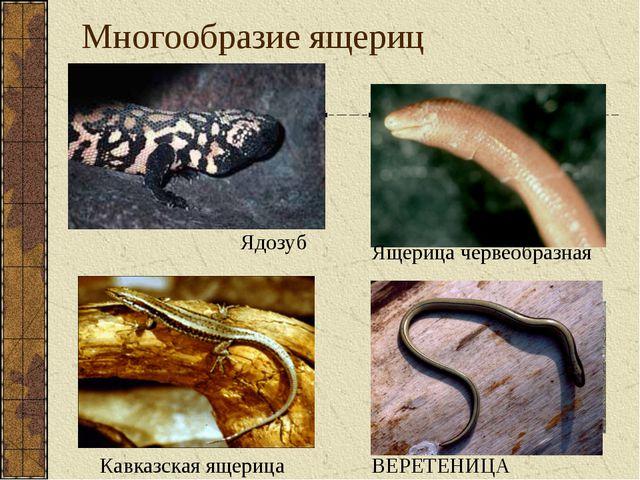 Многообразие ящериц Стенной геккон Кавказская ящерица Ядозуб Ящерица червеобр...