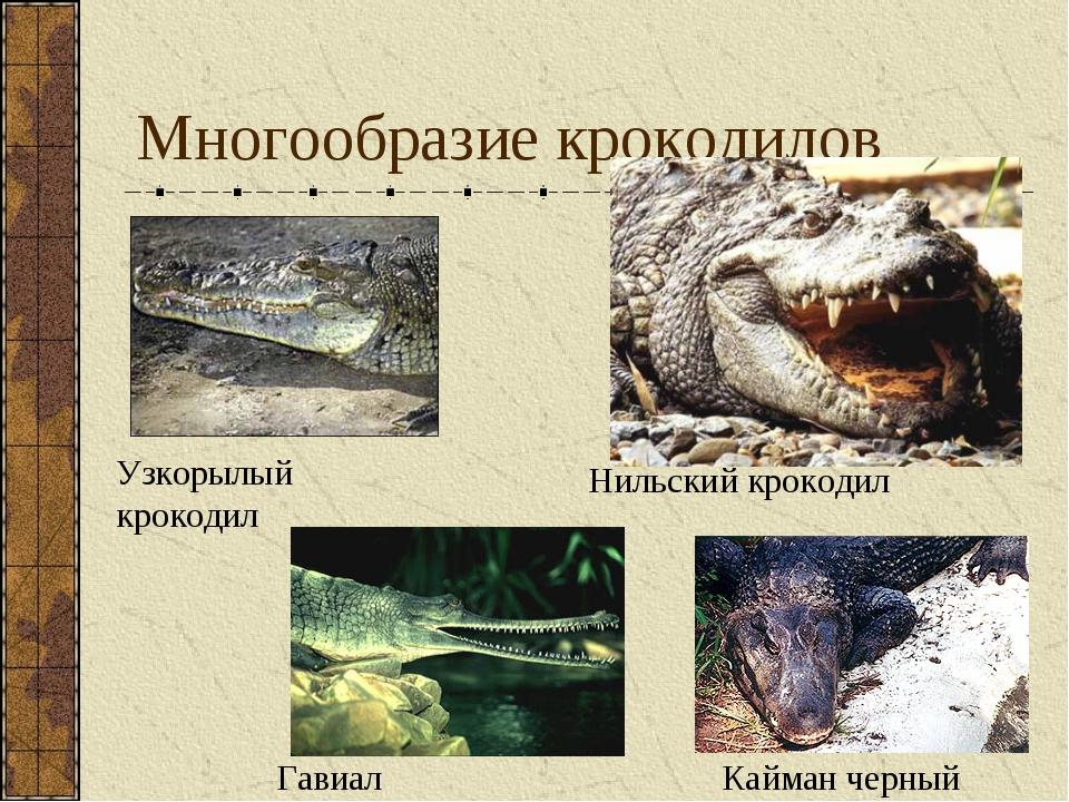 Многообразие крокодилов Кайман черный Узкорылый крокодил Гавиал Нильский крок...