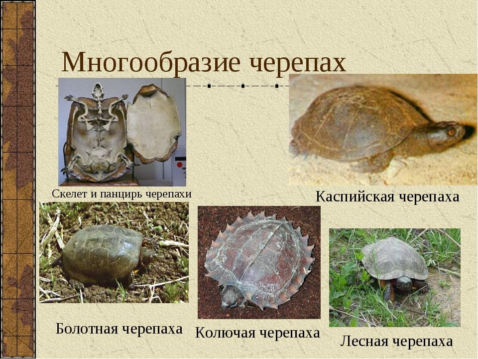 Многообразие черепах Каспийская черепаха Колючая черепаха Лесная черепаха Ске...