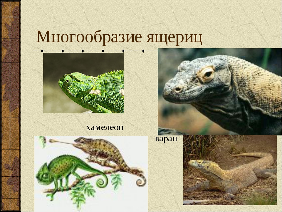 Многообразие ящериц варан хамелеон