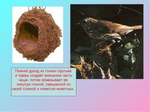Певчий дрозд из тонких прутьев и травы создаёт внешнюю часть чаши, потом обма