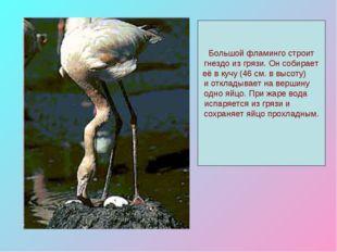 Большой фламинго строит гнездо из грязи. Он собирает её в кучу (46 см. в высо
