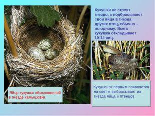 Кукушки не строят гнездо, а подбрасывают свои яйца в гнезда других птиц, обыч