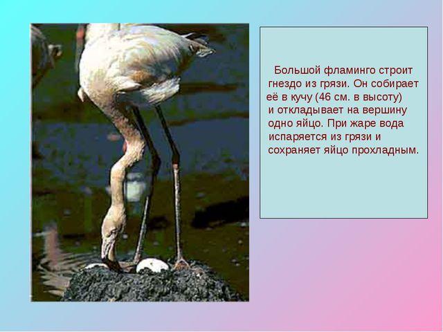 Большой фламинго строит гнездо из грязи. Он собирает её в кучу (46 см. в высо...