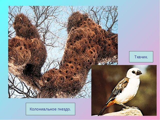 Ткачик. Колониальное гнездо.