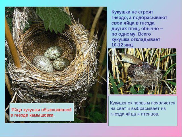 Кукушки не строят гнездо, а подбрасывают свои яйца в гнезда других птиц, обыч...