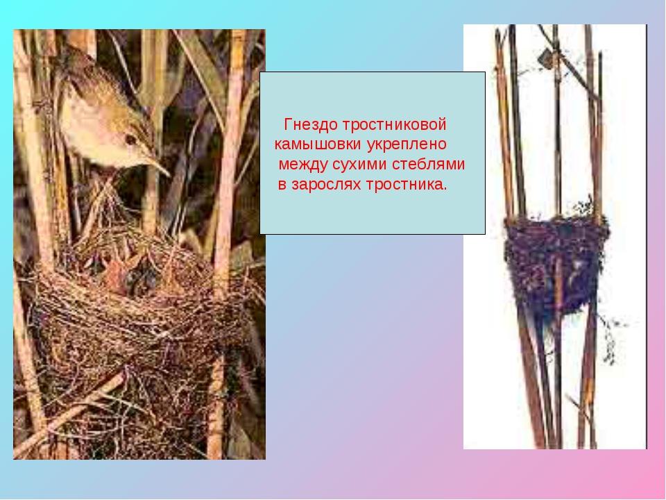 Гнездо тростниковой камышовки укреплено между сухими стеблями в зарослях тро...