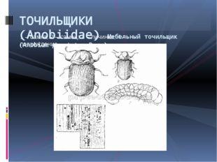 1 – самка; 2 – самец; 3 – личинка; 4 – повреждение ТОЧИЛЬЩИКИ (Anobiidae)Меб
