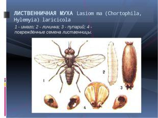1 - имаго; 2 - личинка; 3 - пупарий; 4 - повреждённые семена лиственницы. ЛИС