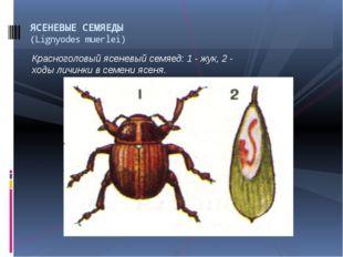 Красноголовый ясеневый семяед: 1 - жук, 2 - ходы личинки в семени ясеня. ЯСЕН