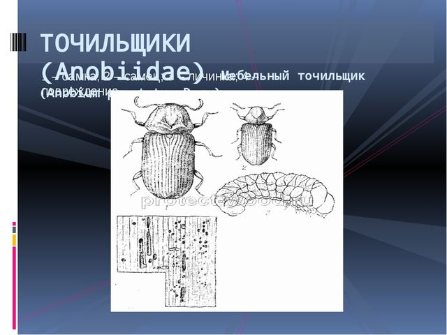 1 – самка; 2 – самец; 3 – личинка; 4 – повреждение ТОЧИЛЬЩИКИ (Anobiidae)Меб...