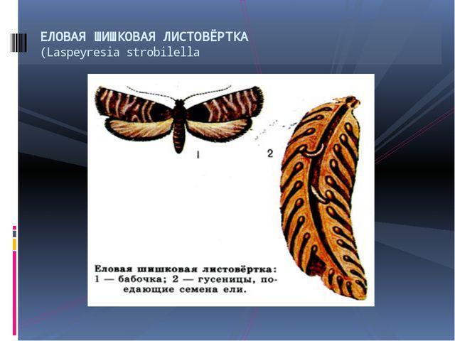 ЕЛОВАЯ ШИШКОВАЯ ЛИСТОВЁРТКА (Laspeyresia strobilella