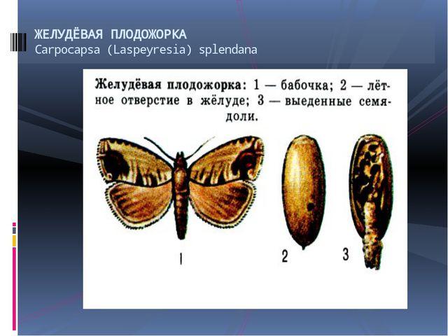 ЖЕЛУДЁВАЯ ПЛОДОЖОРКА Саrpocapsa (Laspeyresia) splendana
