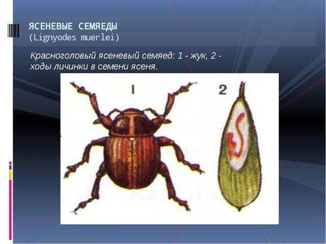 Красноголовый ясеневый семяед: 1 - жук, 2 - ходы личинки в семени ясеня. ЯСЕН...