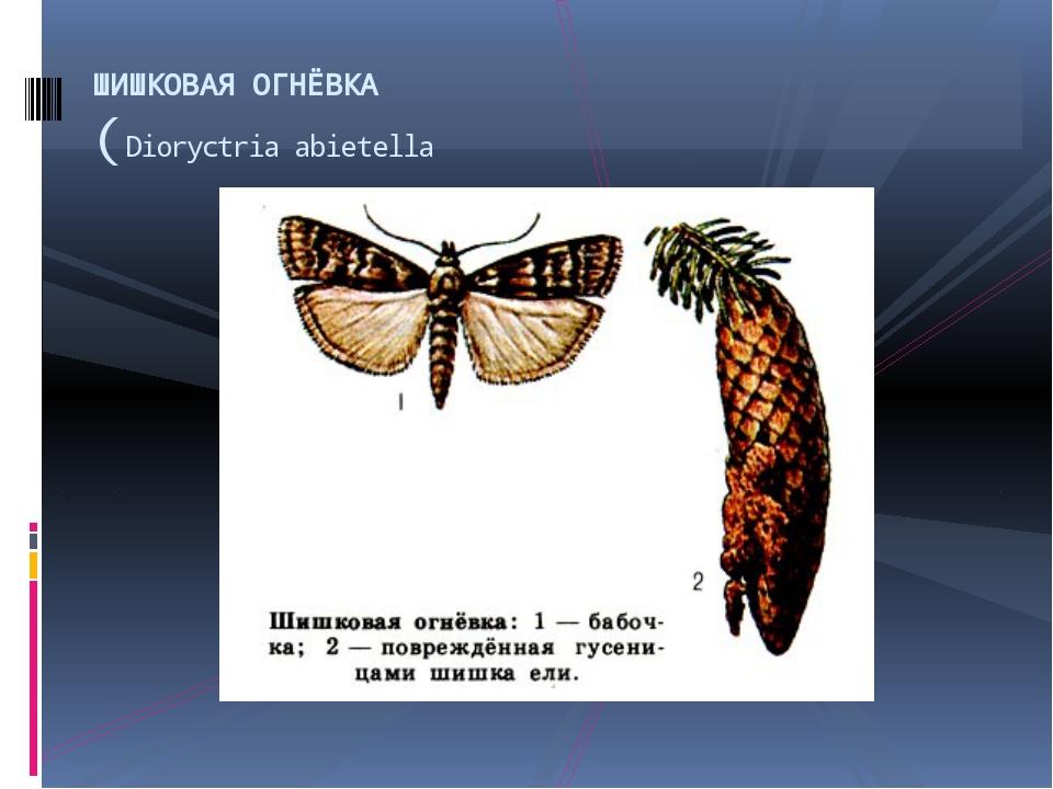 ШИШКОВАЯ ОГНЁВКА (Dioryctria abietella