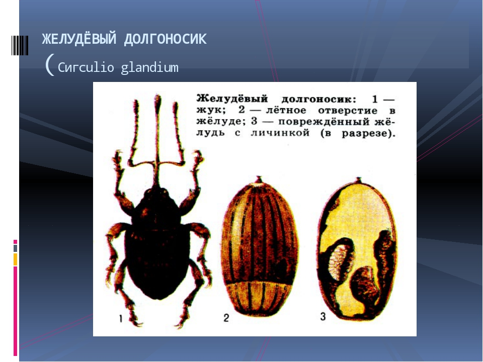 ЖЕЛУДЁВЫЙ ДОЛГОНОСИК (Сигculio glandium
