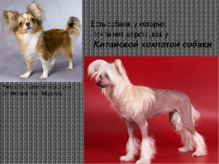 Есть собаки, у которых почти нет шерсти, как у Китайской хохлатой собаки Рос
