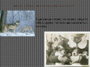 Как же собака стала домашним животным ? Одни ученые считают, что человек прир