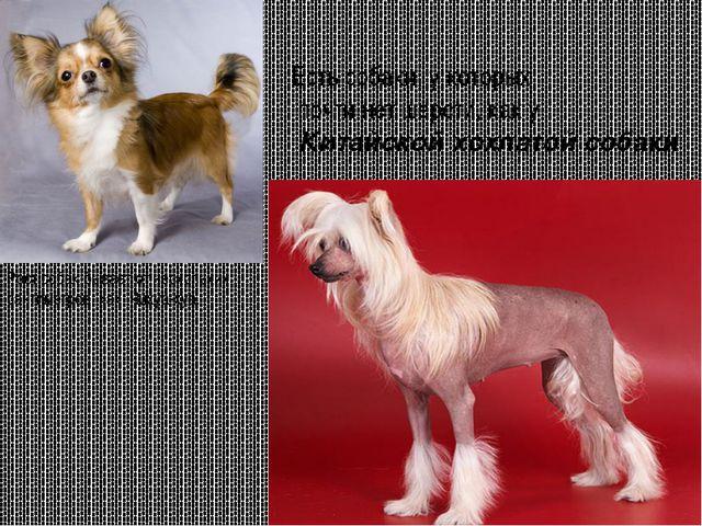 Есть собаки, у которых почти нет шерсти, как у Китайской хохлатой собаки Рос...