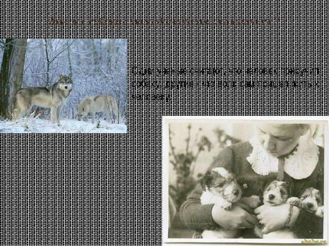 Как же собака стала домашним животным ? Одни ученые считают, что человек прир...