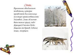 Стаи. Временные объединения животных, которые проявляют биологически полезную