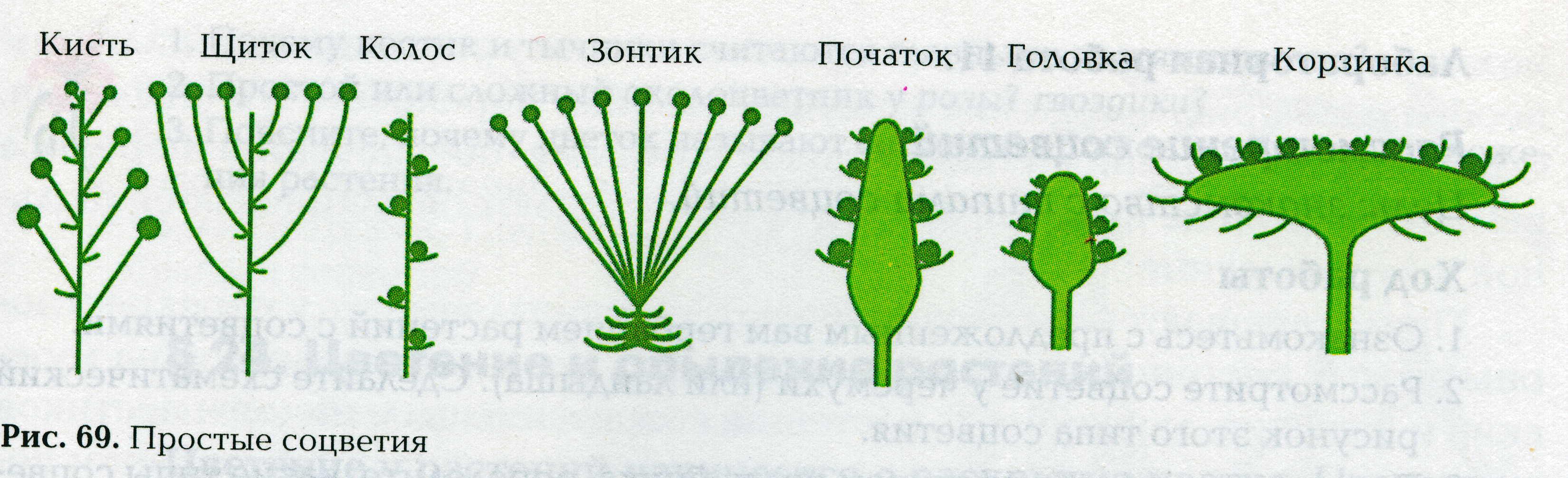 Сложный щиток схема соцветия