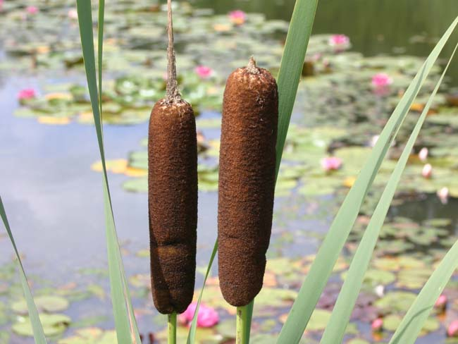 http://shop.greensib.ru/assets/galleries/1729/big_typha_latifolia.JPG