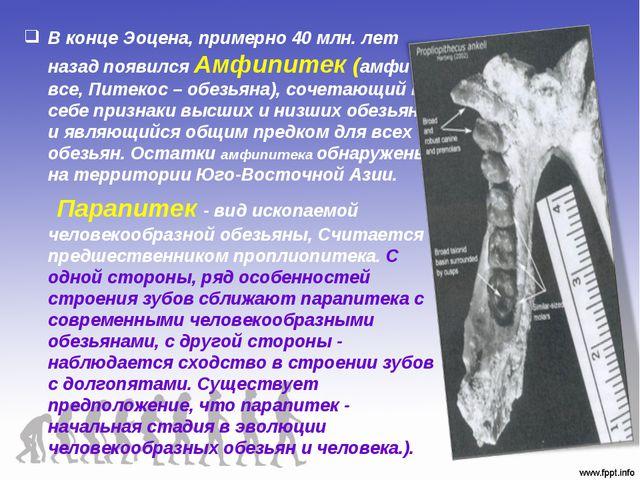 В конце Эоцена, примерно 40 млн. лет назад появился Амфипитек (амфи – все, Пи...