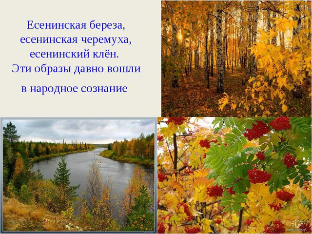 Есенинская береза, есенинская черемуха, есенинский клён. Эти образы давно вош...