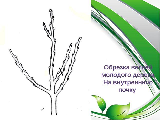 Обрезка ветвей молодого дерева На внутреннюю почку