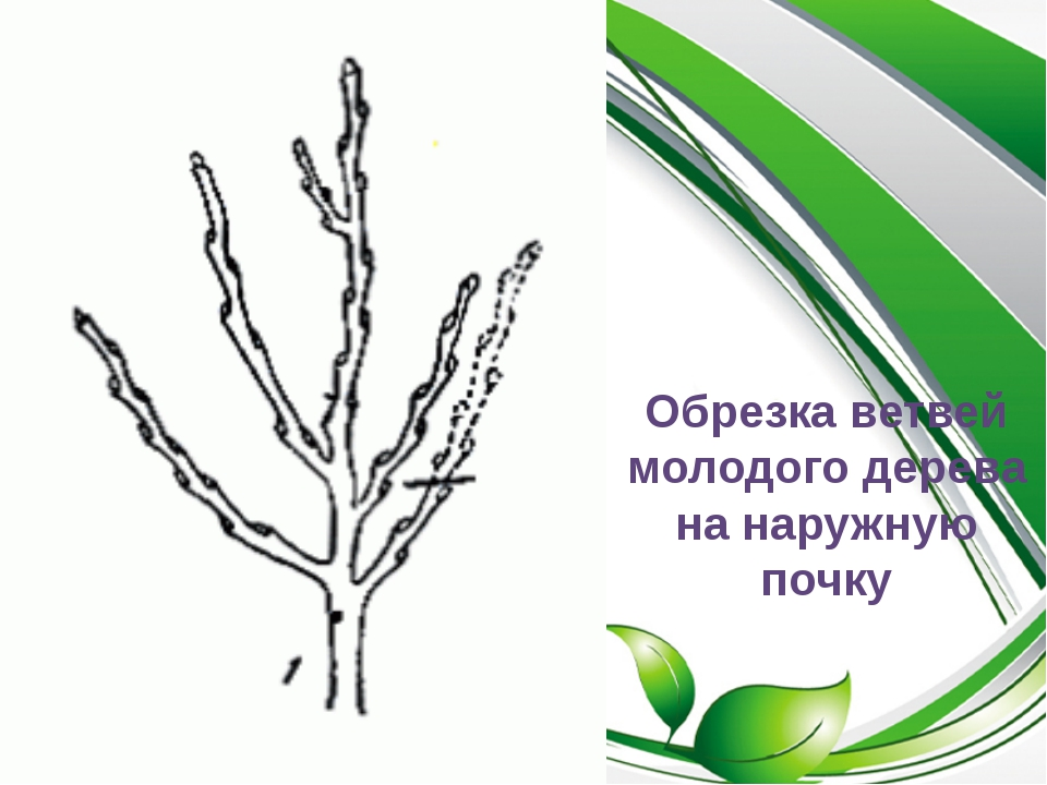 Обрезка ветвей молодого дерева на наружную почку