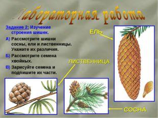 Задание 2: Изучение строения шишек. А) Рассмотрите шишки сосны, ели и листвен