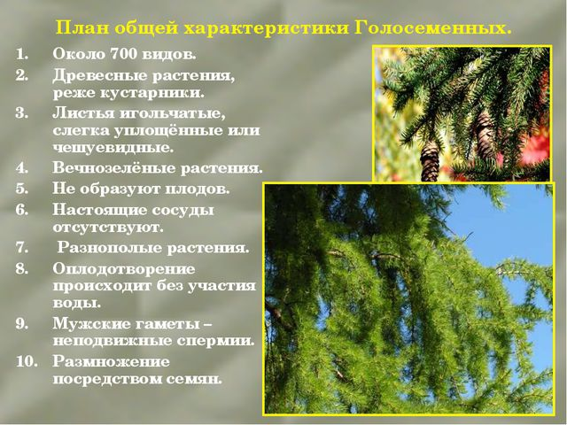 План общей характеристики Голосеменных. Около 700 видов. Древесные растения,...