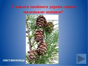 Эти грибы растут большими компаниями на деревьях и пнях. опята