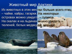 Животный мир Арктики Из животных в этих местах больше всего птиц – чайки, кай
