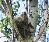 http://fotoparus.com/photogalery/animals/wild_animals/aves/16_STRIGIFORMES_STRIGIDAE_Asio_otus/slides/nestling_Asio_otus201206071739.jpg