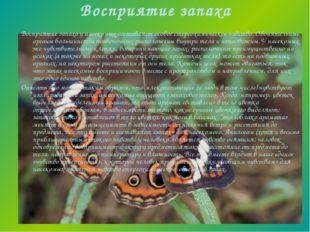 Восприятие запаха Восприятие запаха у насекомых составляет особое стереохимич