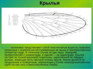 Крылья Крылья насекомых представляют собой пластинчатые выросты покровов, свя