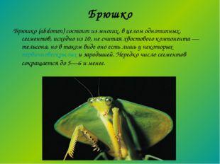 Брюшко Брюшко (abdomen) состоит из многих, в целом однотипных, сегментов, исх