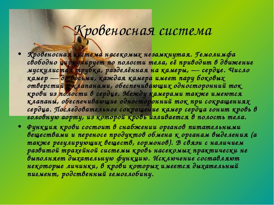Кровеносная система насекомых незамкнутая. Гемолимфа свободно циркулирует по...