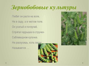 Зернобобовые культуры Любит он расти на воле, Не в саду, а в чистом поле. Он