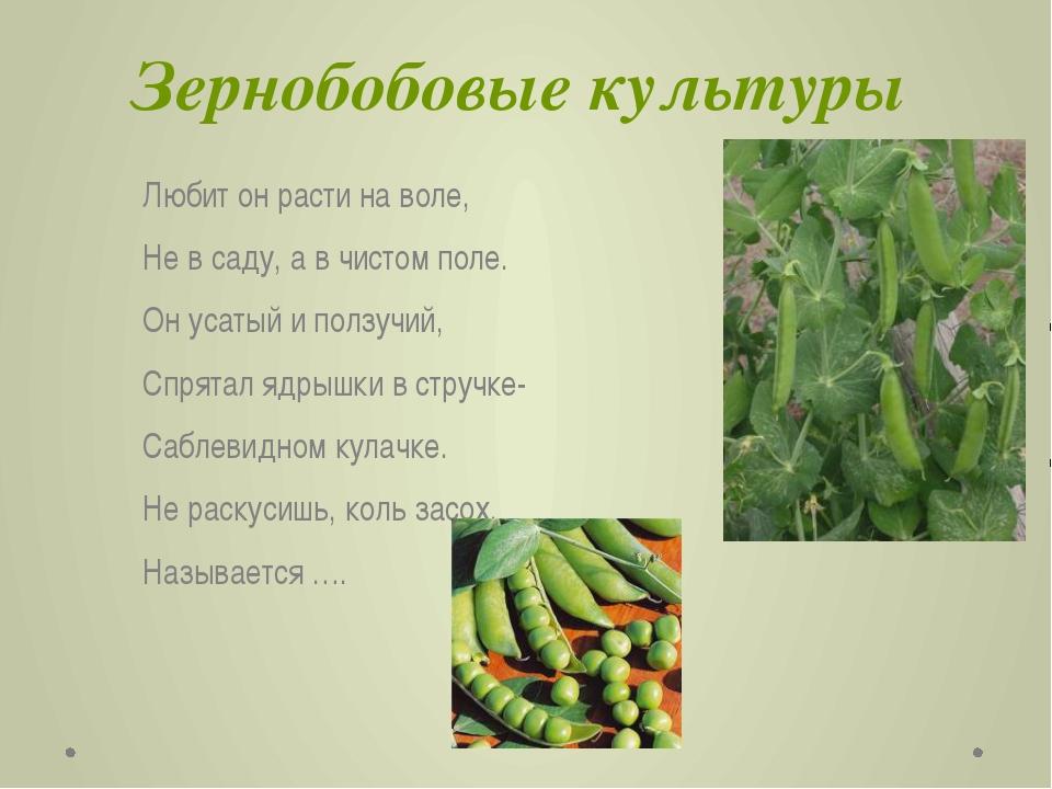 Зернобобовые культуры Любит он расти на воле, Не в саду, а в чистом поле. Он...